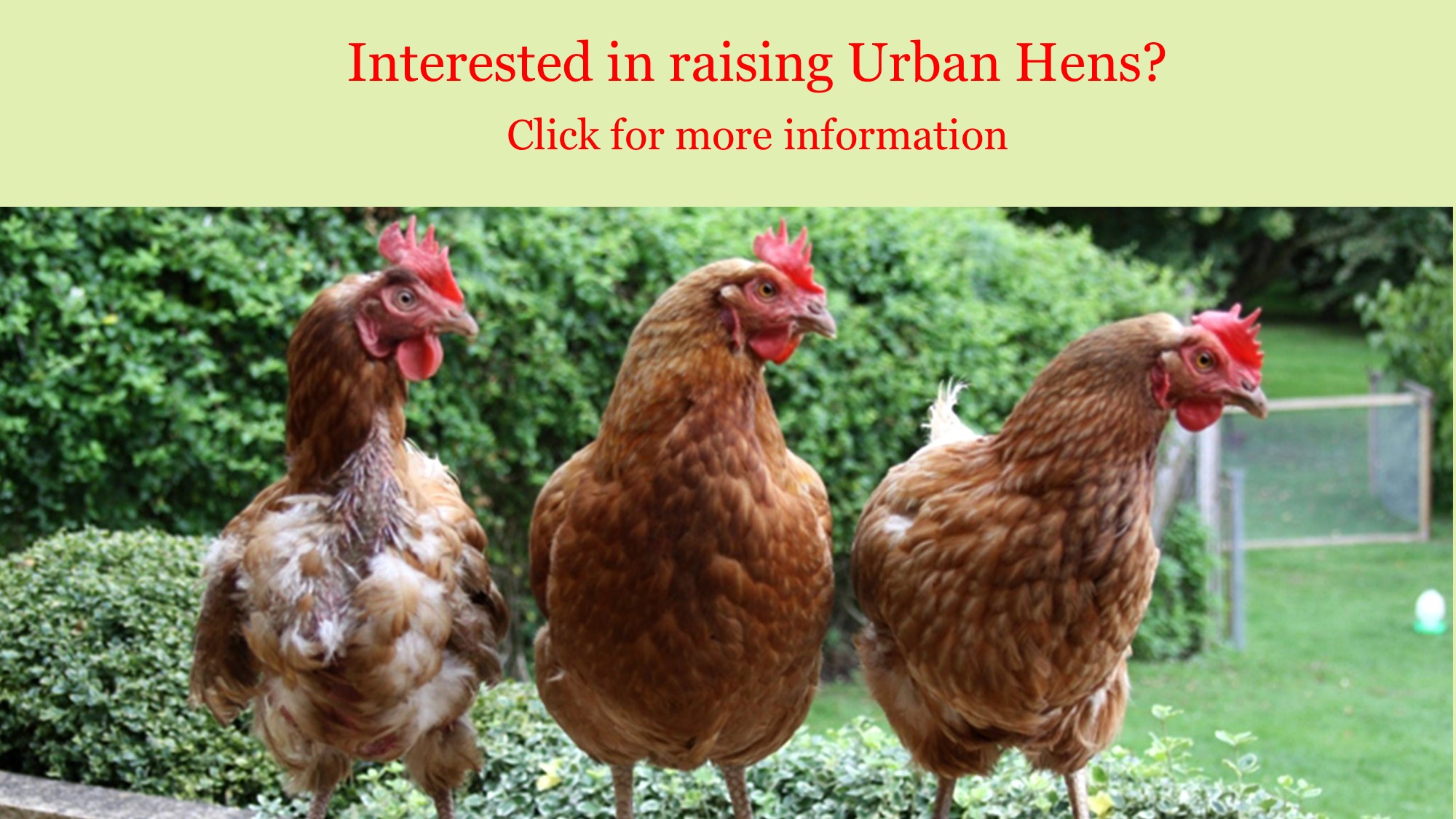 <div id=slideshow_title>Are you interested in raising Urban Hens?</div> <br>Click for more information on the application process.